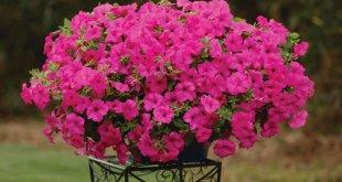 Plante Ornamentale De Gradina